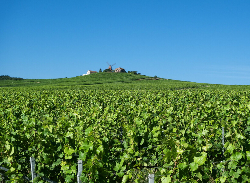 Green Vines in the Champagne Region