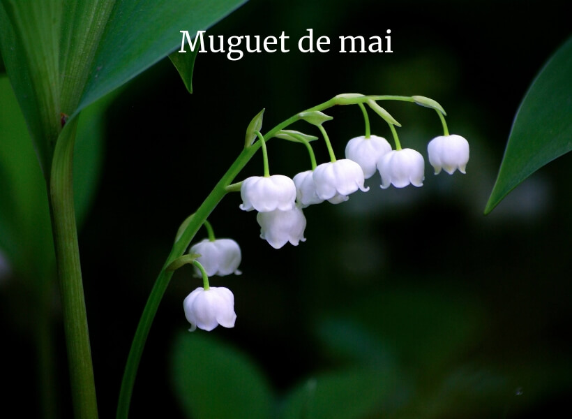 Lily of the valley flower against a dark green background: public holidays in france episode