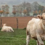 White cows in a bucolic field: Burgundy Wine and Gastronomy episode